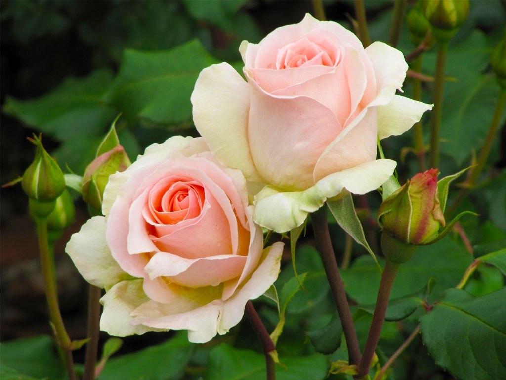 №1870, Цветовете на розата. Фото-картина.