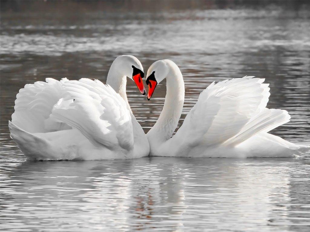 №1951, Белите лебеди. Фото-картина.