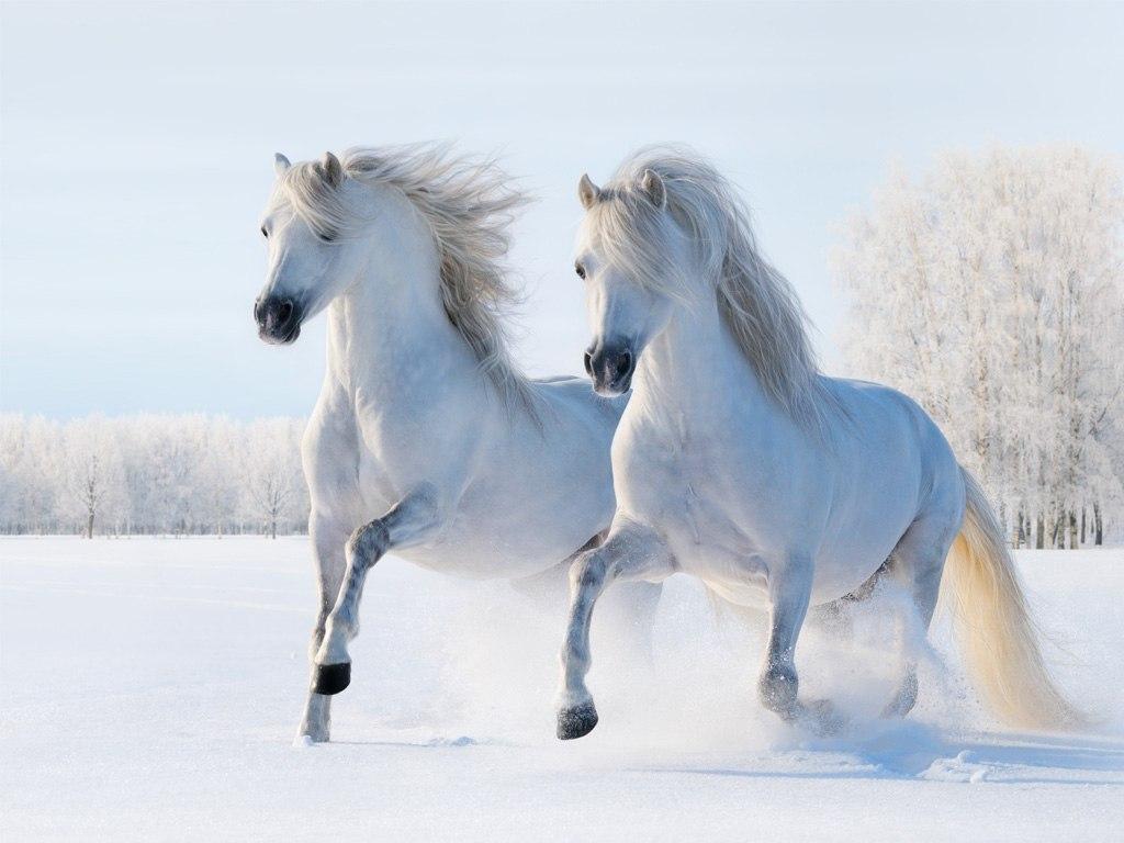 №1985, Белите коне. Фото-картина.